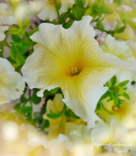 petuniacanary