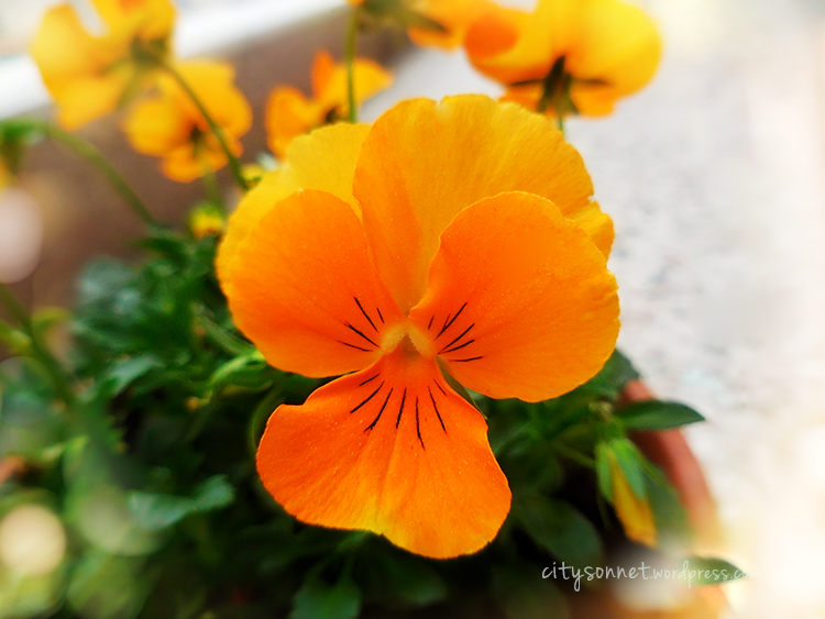 yellowviolas