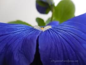 bluepansy