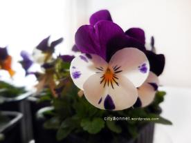 purpleviola