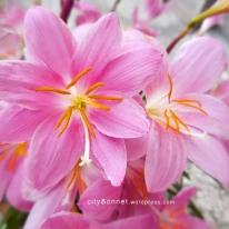rainlilies