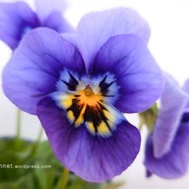 violapurples