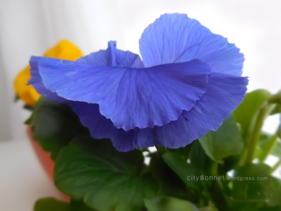 pansyviolet
