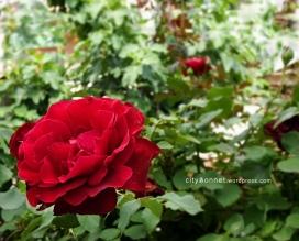 redrosa