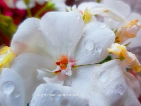 whitegeraniumdrops