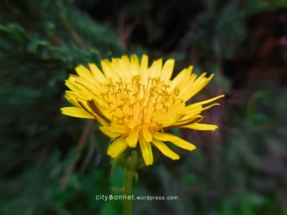 yellowdandelion