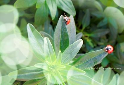 ladybugs1