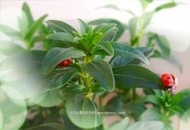 ladybugs3