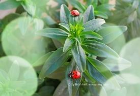 ladybugs5