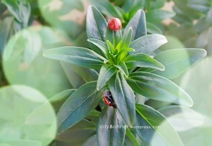 ladybugs6
