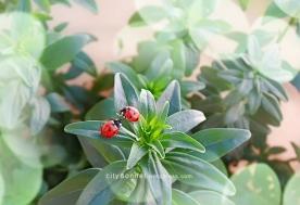 ladybugs7