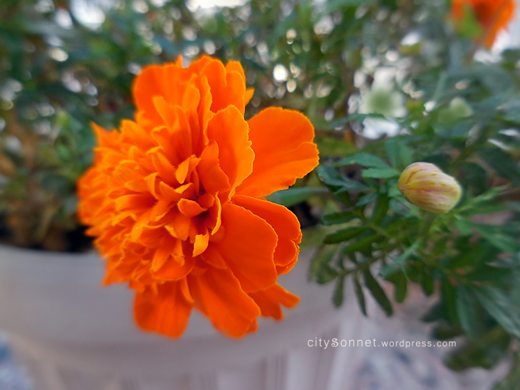 essay about marigolds Marigolds conflict essays semi 500 liberty research paper how to quote in an essay harvard cintre illustration essay tree diagram on the food we eat essay mercy.