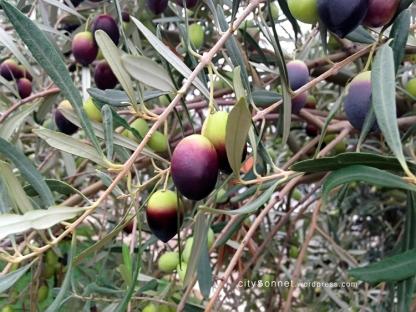 olivesbranches