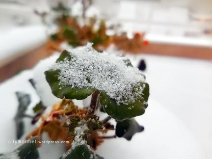 leafgeranium