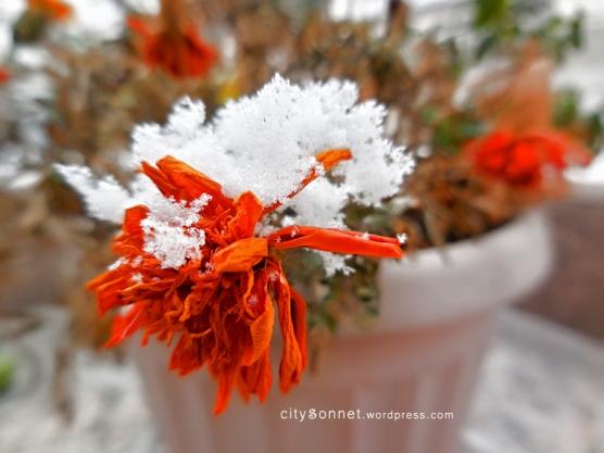 snowmarigold