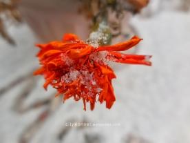 snowmarigolds
