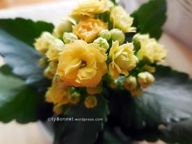 yellowkalanchoe