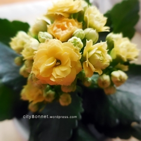 yellowkalanchoe