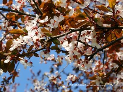 blossomspring