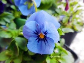 blueviola