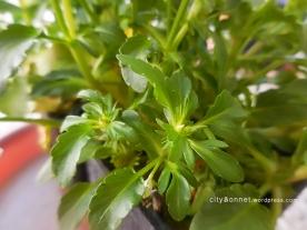 greenviola