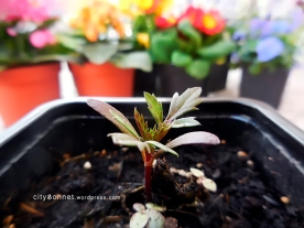marigoldsprouts1