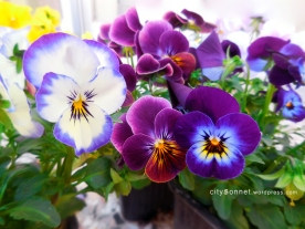 purpleviolas