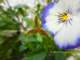 seedsviola