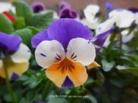 tricolorviola