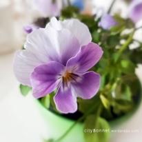 violaflower