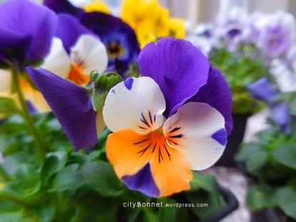 violaviolet