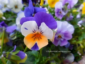 violetsviola