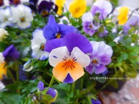 violetviolas