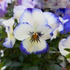 whiteblueviola