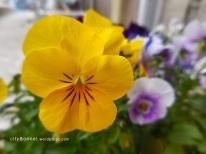 yellowviola
