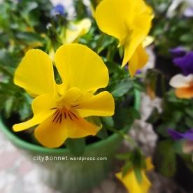 yellowviolapot