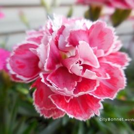 carnationpink