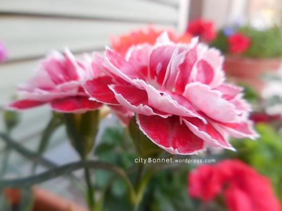 carnationpinks