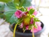 greenstrawberry