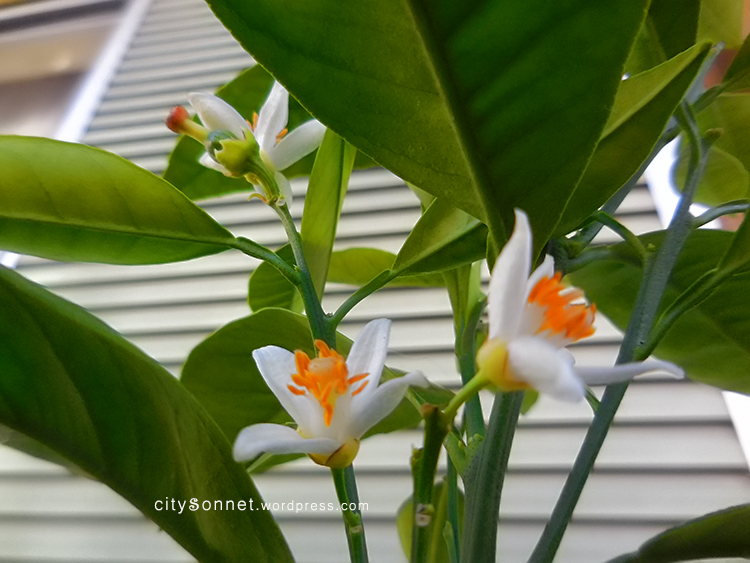 Orange blossom very beautiful and decorative mini tree with fragrant white flowers and evergreen glossy leaves citrus blooms smell wonderful mightylinksfo