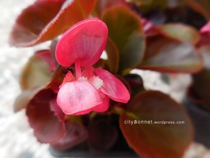 pinkbudbegonia