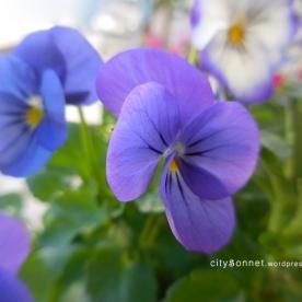 purplesviola