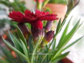 redcarnationbuds