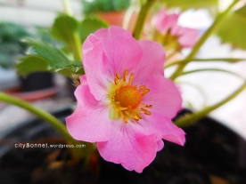 rosestrawberry