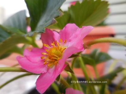strawberryflower