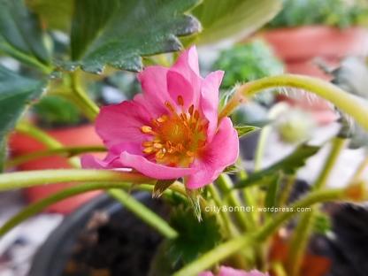 strawberryrose