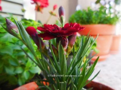 carnationdarkred