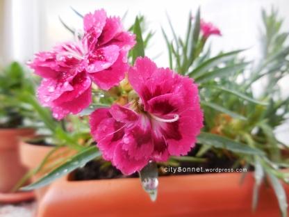 carnationdrop