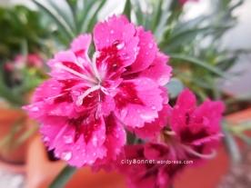 carnationsdrop