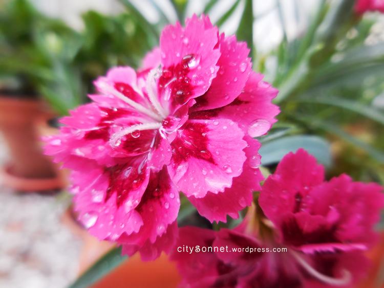 pinkflowerdrops